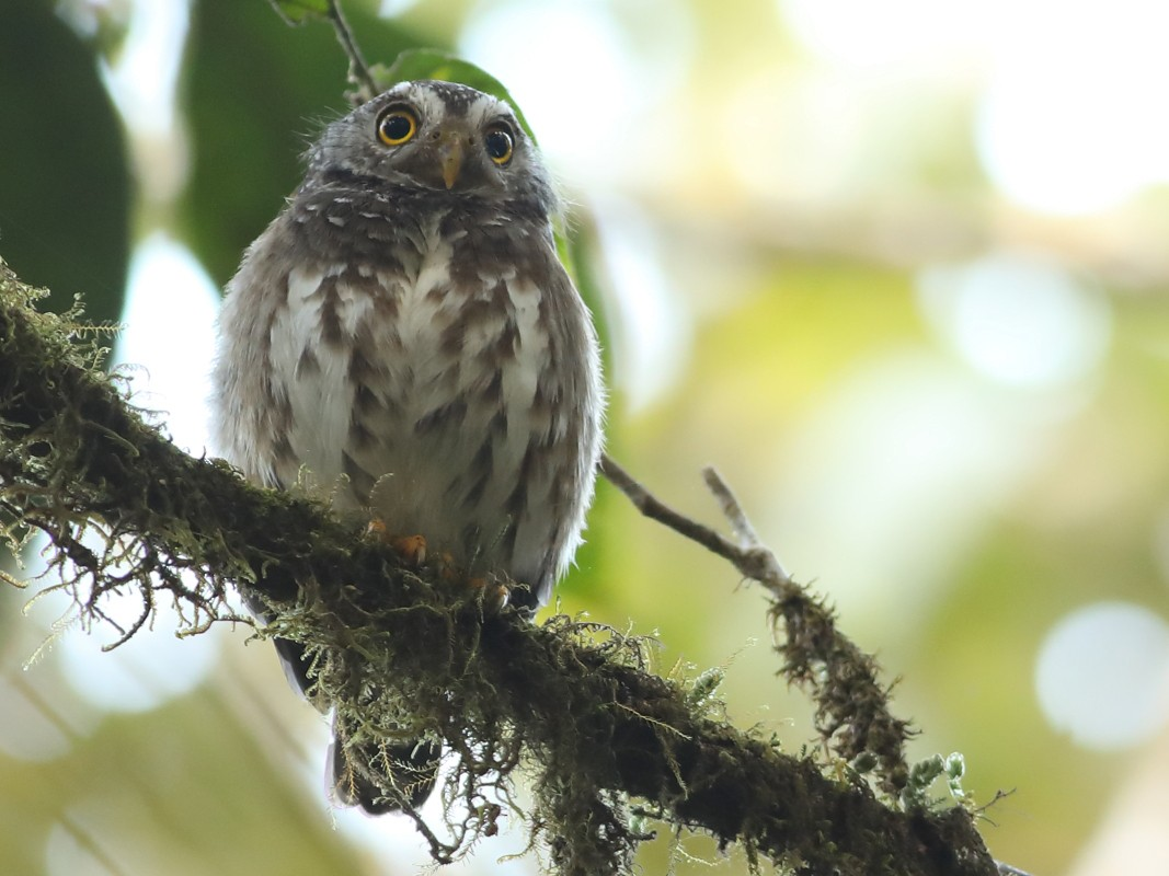 Subtropical Pygmy-Owl - Graham Montgomery