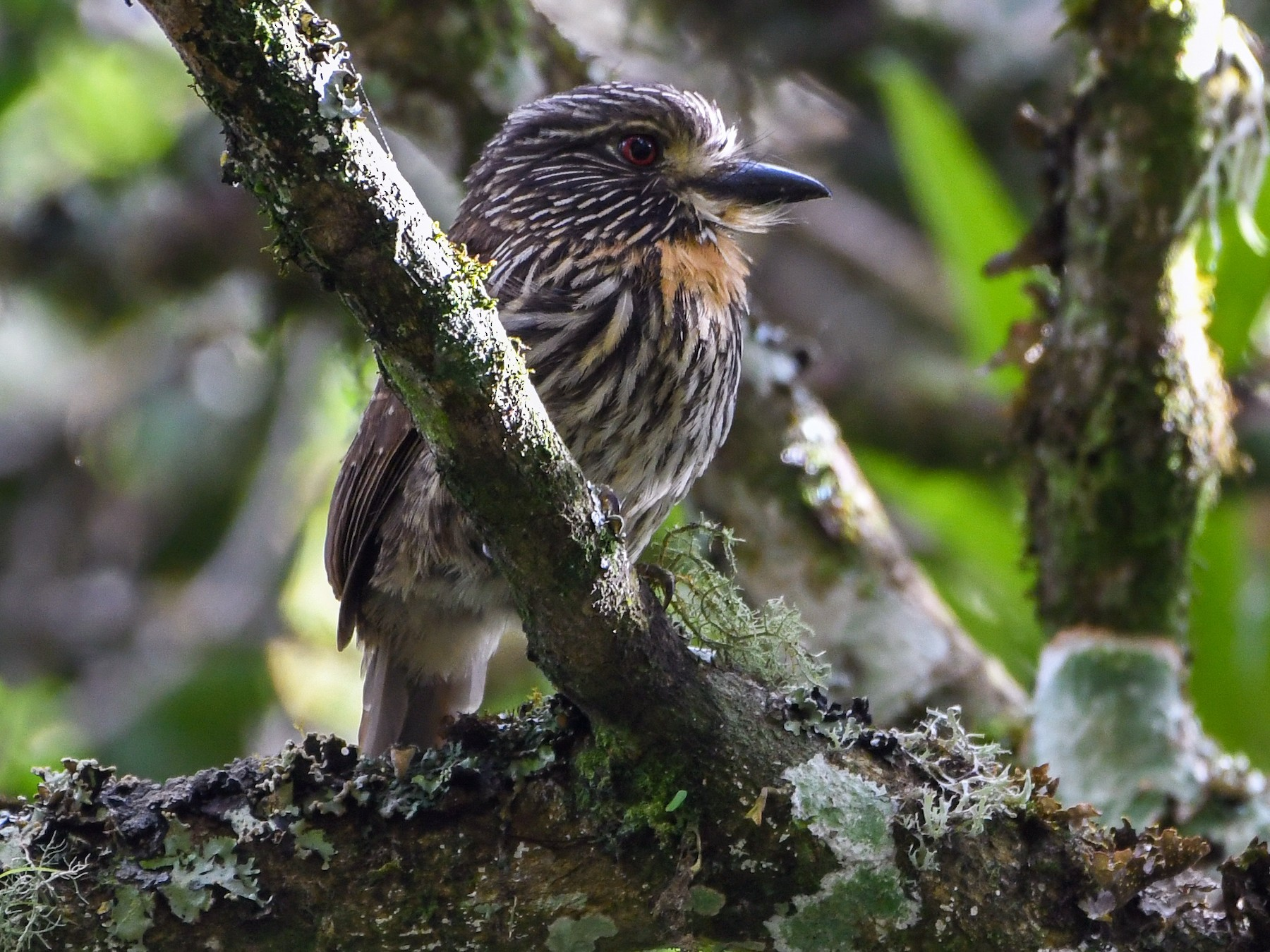 Black-streaked Puffbird - Ben Sanders
