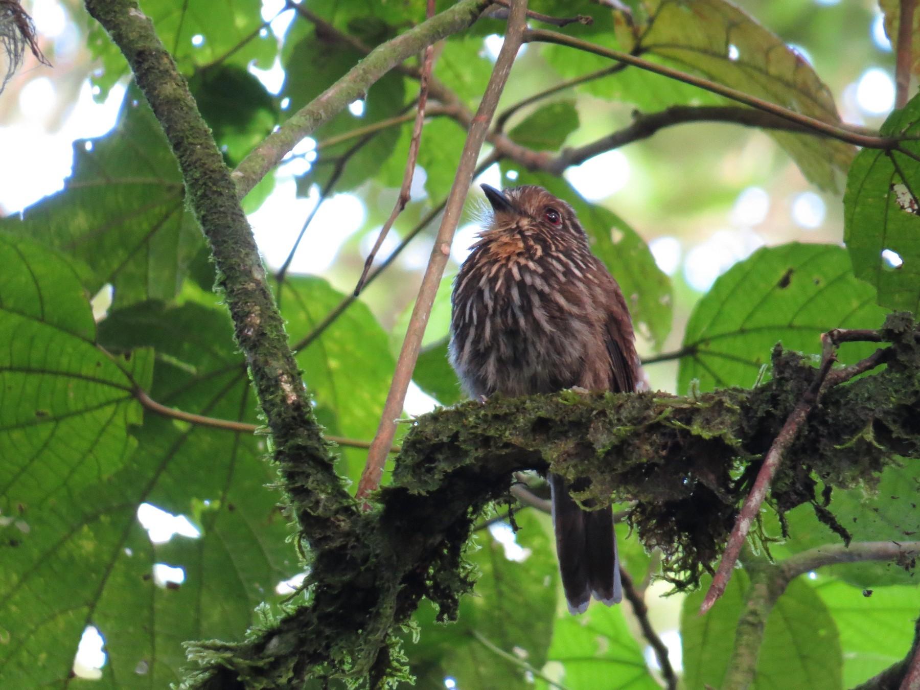 Black-streaked Puffbird - Whitney Mortimer