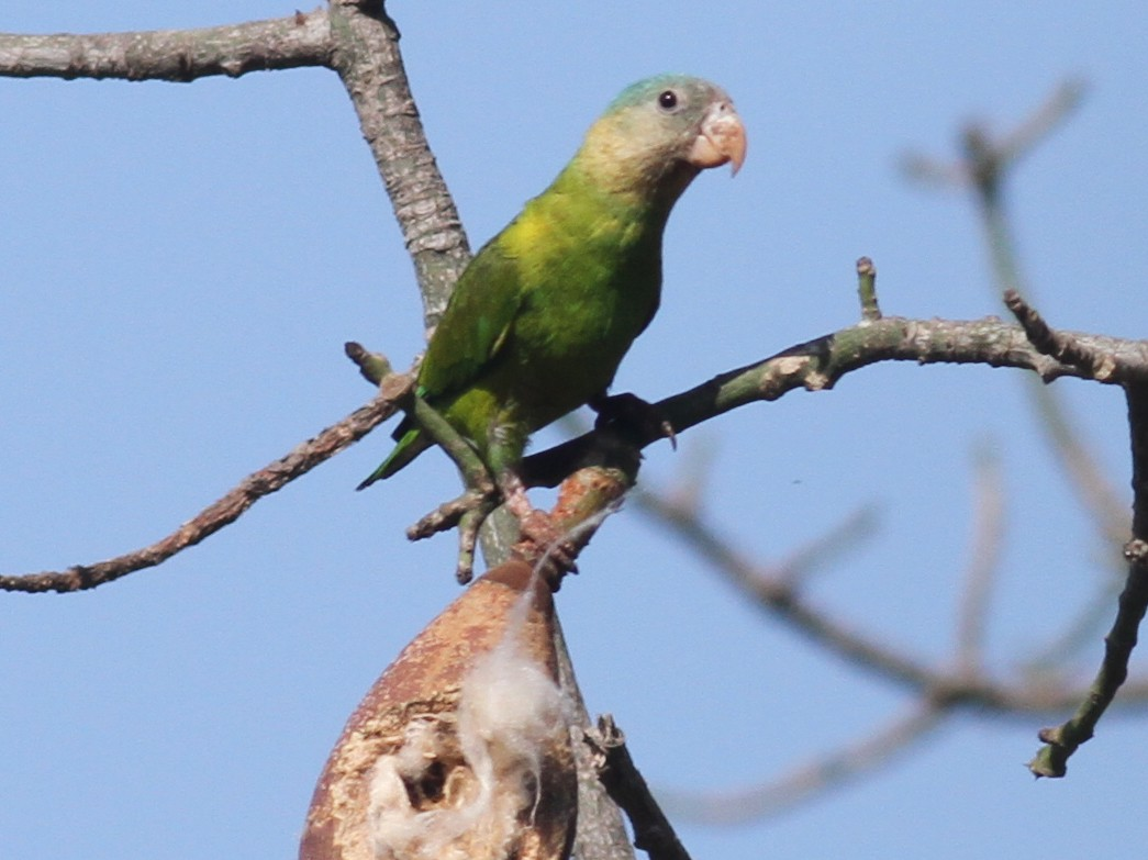 Gray-cheeked Parakeet - Paul Bourdin