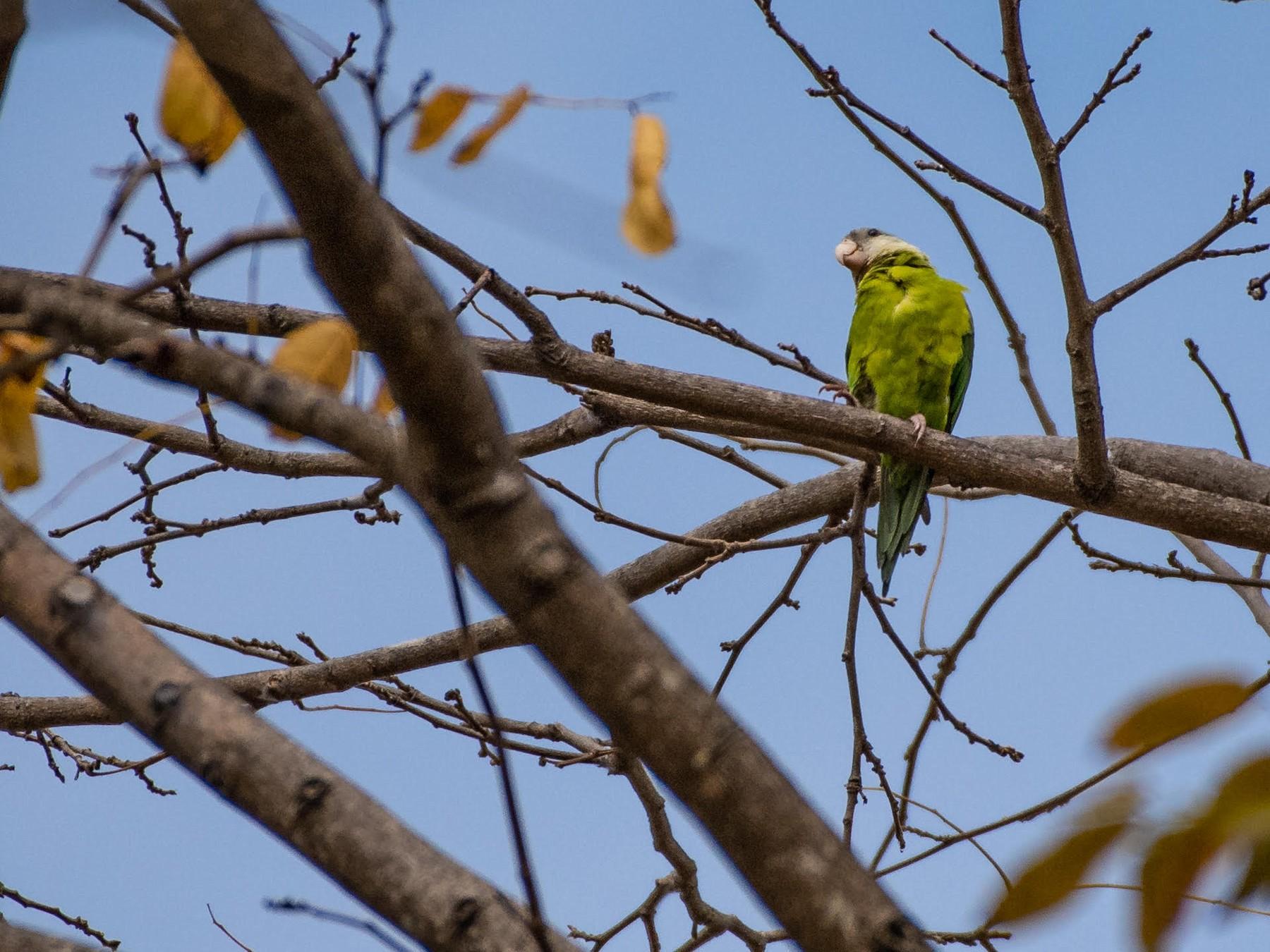 Gray-cheeked Parakeet - Ragupathy Kannan