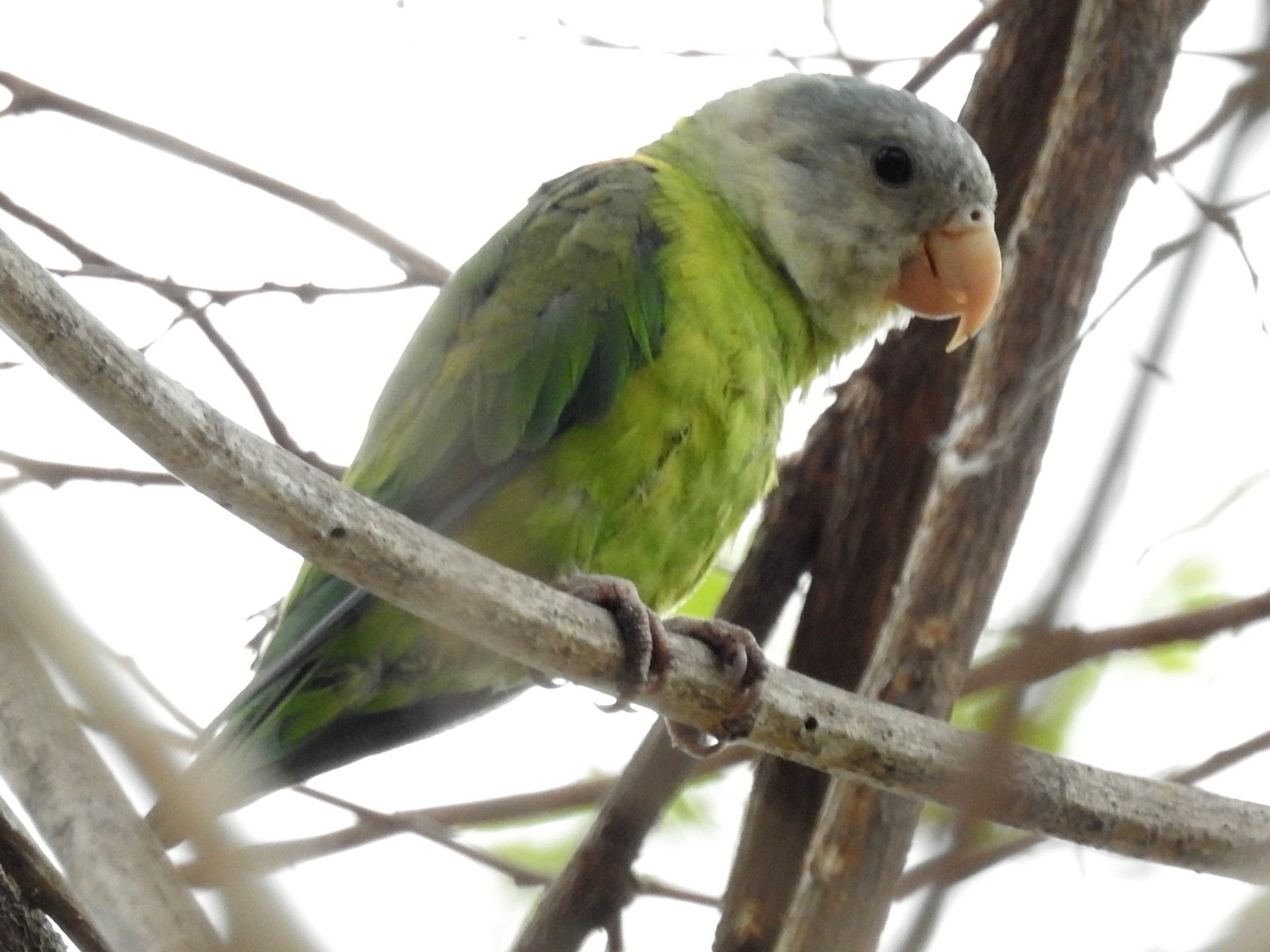 Gray-cheeked Parakeet - David Bree