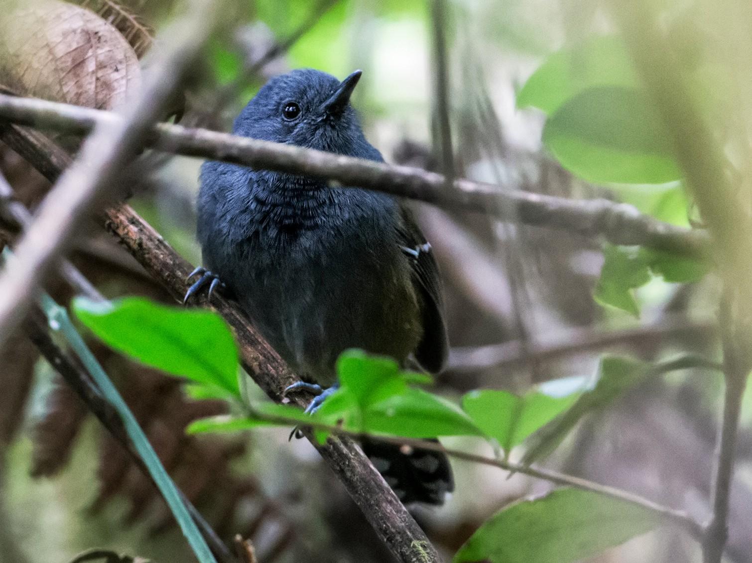 Gray-headed Antbird - Nick Athanas