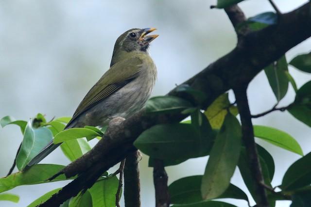 Lesser Antillean Saltator
