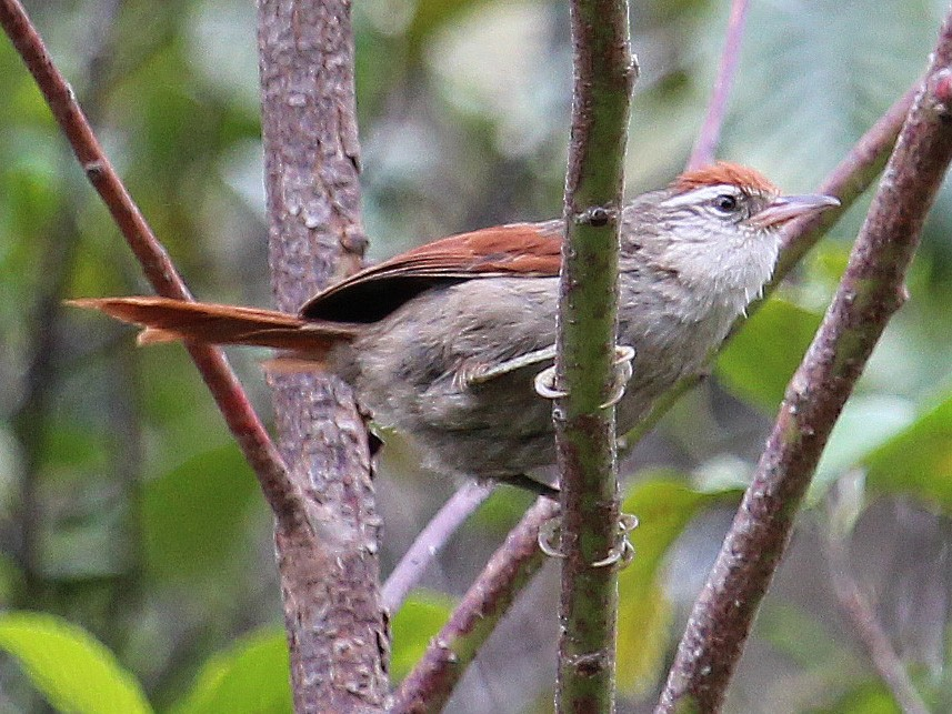 Line-cheeked Spinetail - Alexander Lees