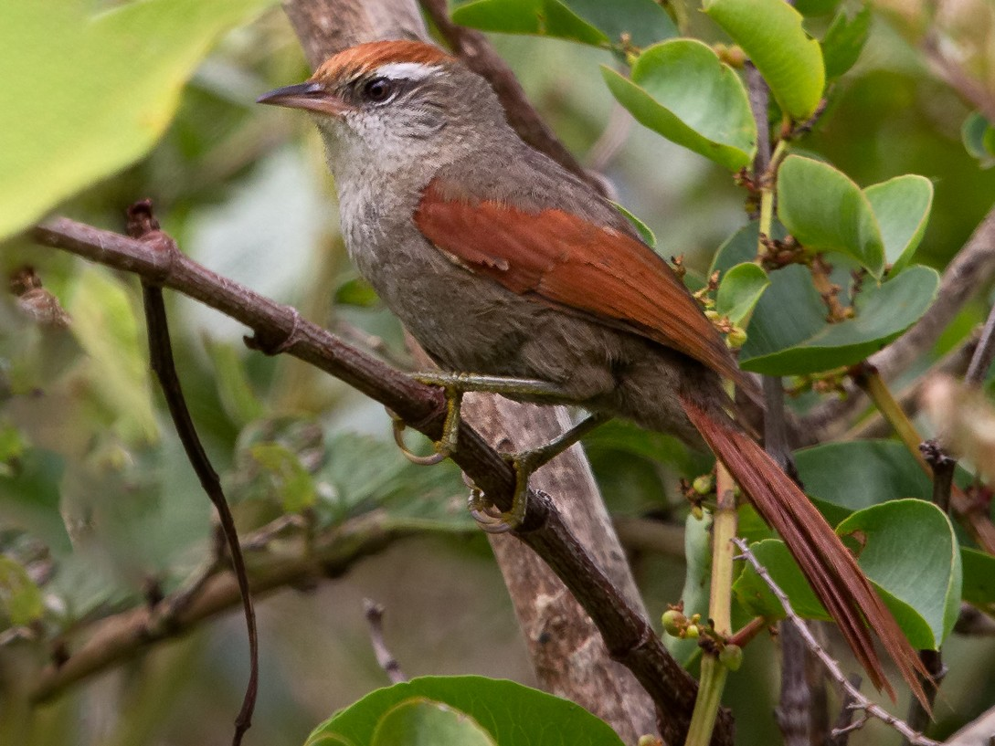 Line-cheeked Spinetail - Peter Hawrylyshyn