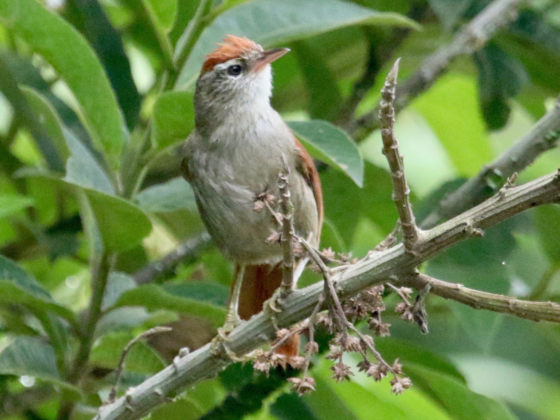 Line-cheeked Spinetail - Gil Ewing