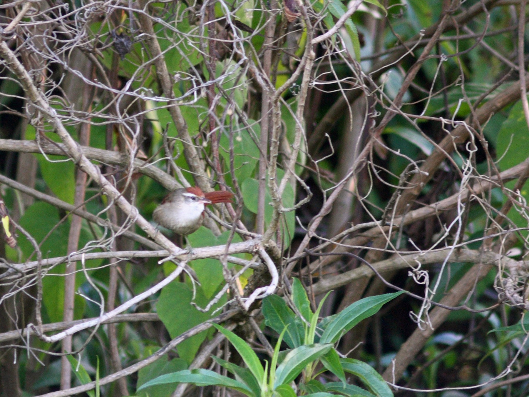 Line-cheeked Spinetail - David Disher