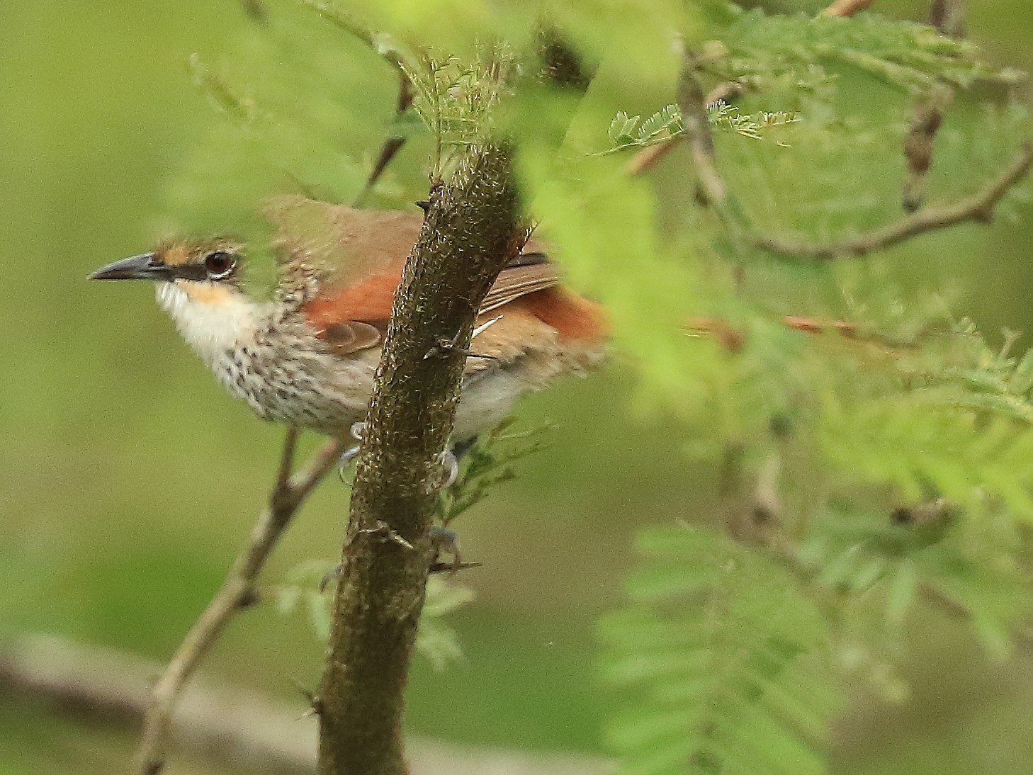 Necklaced Spinetail - David Barton