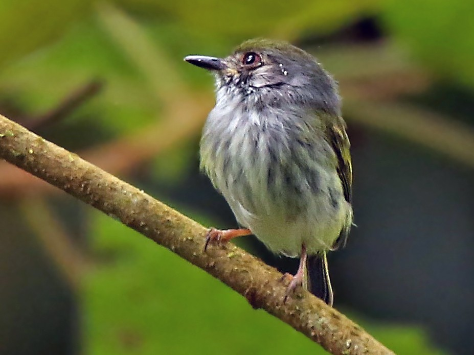 White-bellied Pygmy-Tyrant - Roger Ahlman