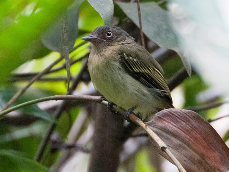 Orange-eyed Flycatcher - David Krueper
