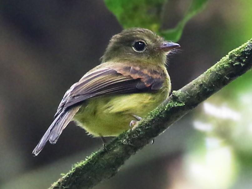 Orange-crested Flycatcher - Andrew Spencer
