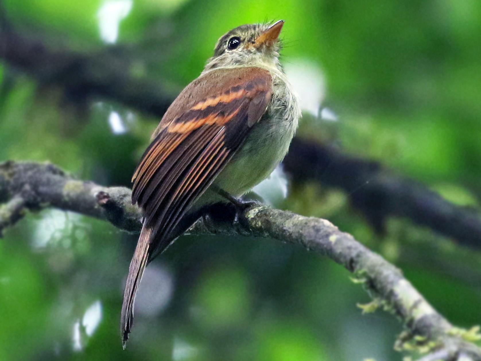 Roraiman Flycatcher - Andrew Spencer