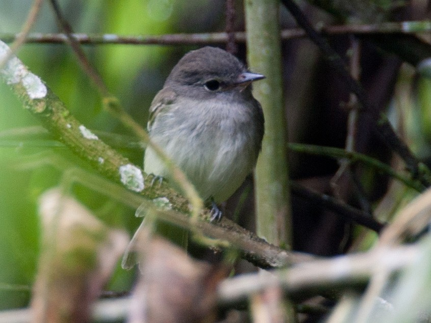Gray-breasted Flycatcher - Robert Lewis