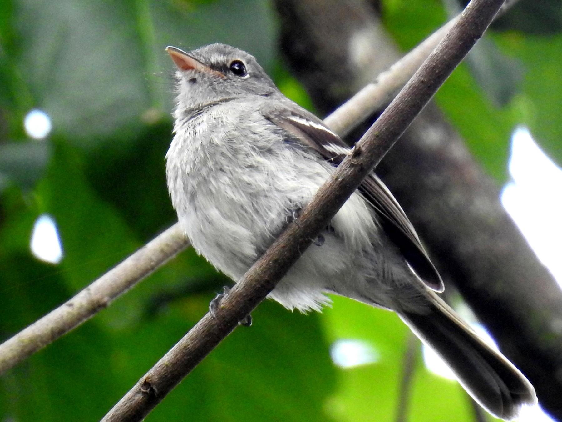 Gray-breasted Flycatcher - Fernando Angulo - CORBIDI