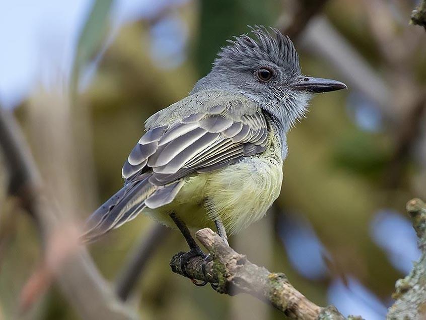 Sooty-crowned Flycatcher - Howard Wu