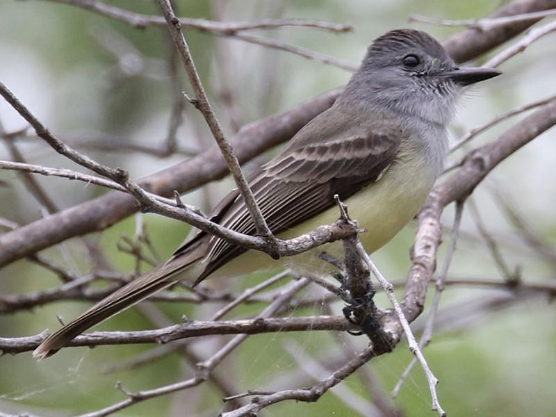 Sooty-crowned Flycatcher - Noah Strycker