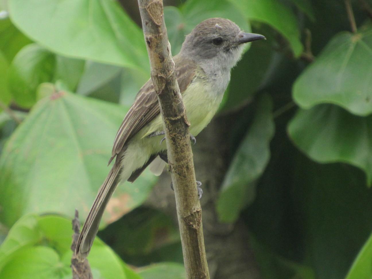 Sooty-crowned Flycatcher - Rafael Ferro