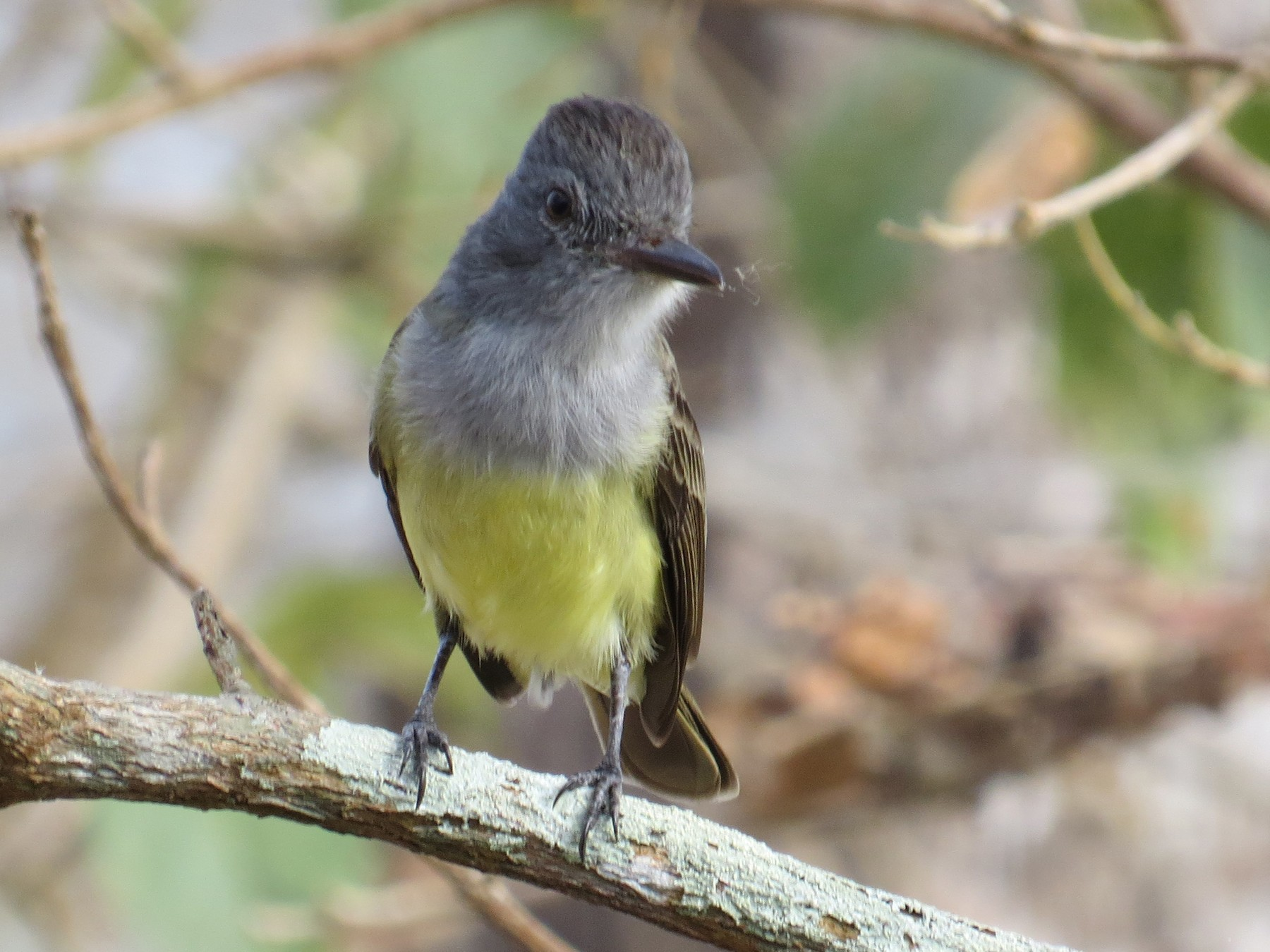 Sooty-crowned Flycatcher - Timothy Parker