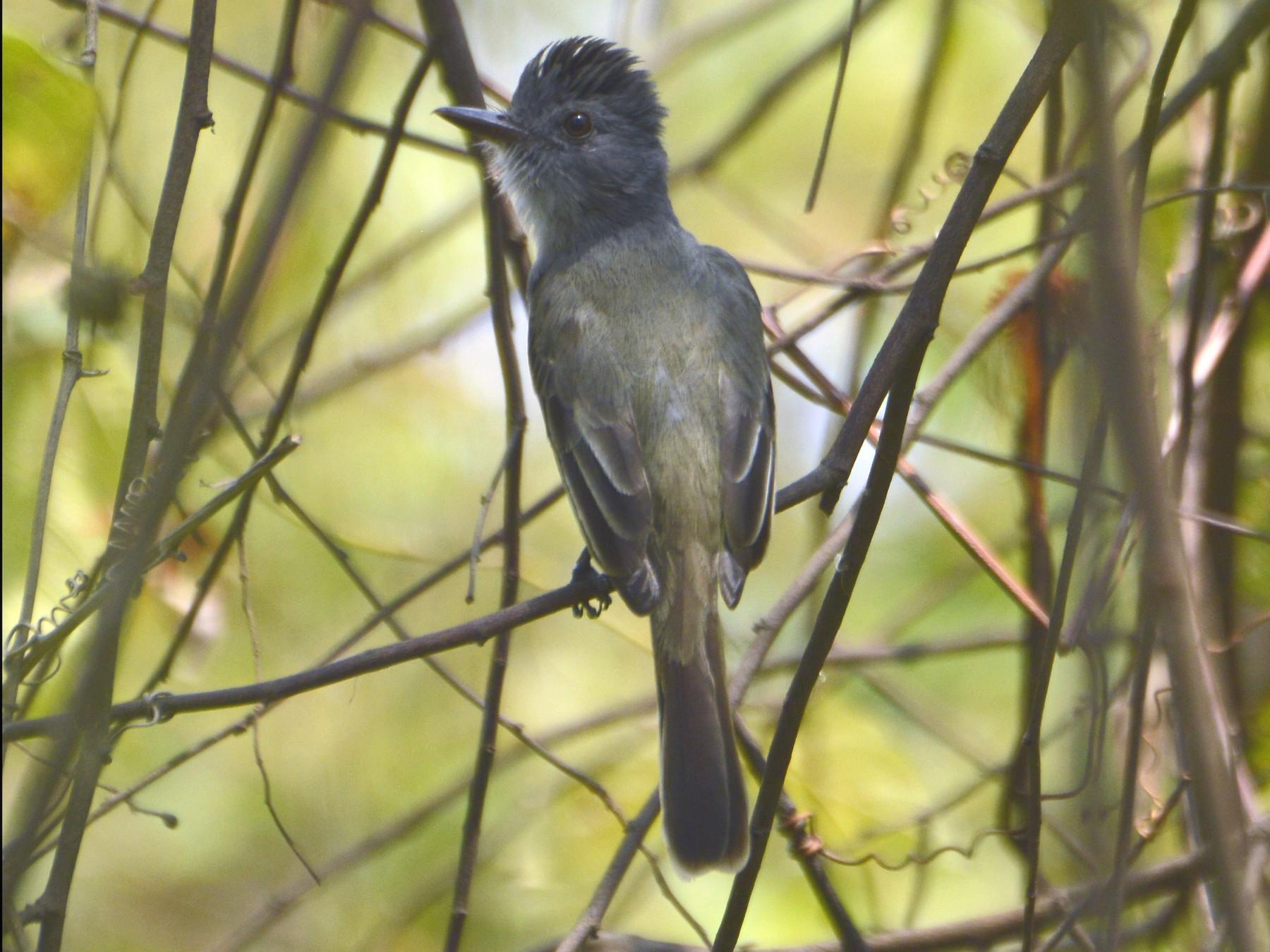 Sooty-crowned Flycatcher - Daniel Martínez