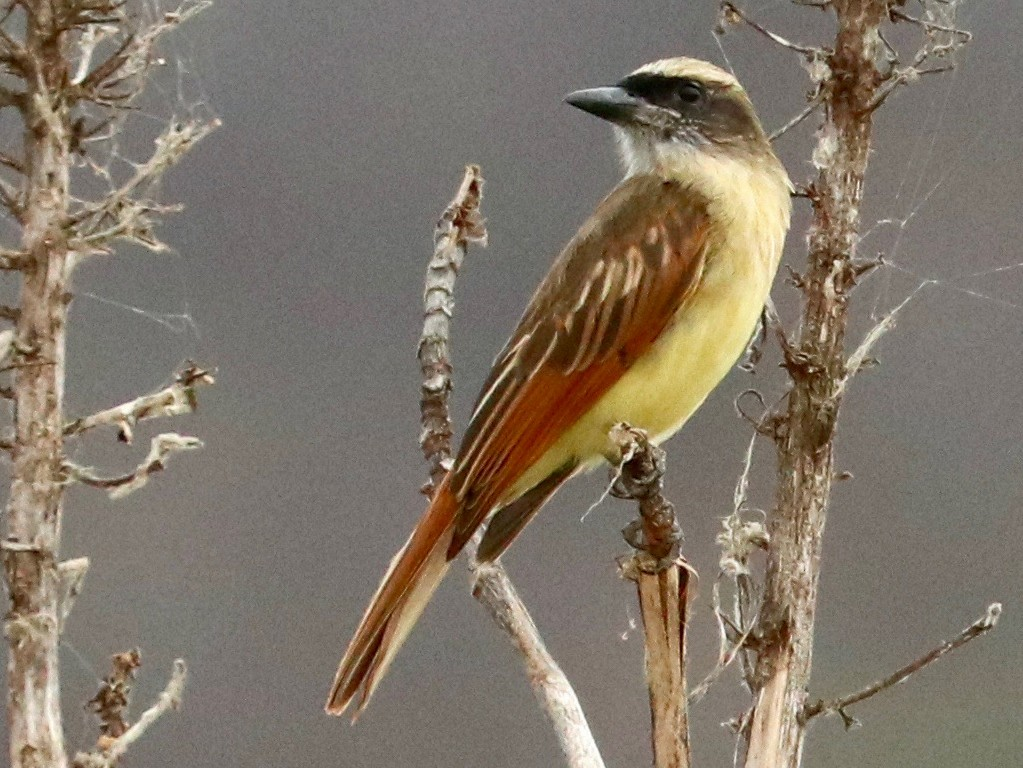 Baird's Flycatcher - Karl Overman
