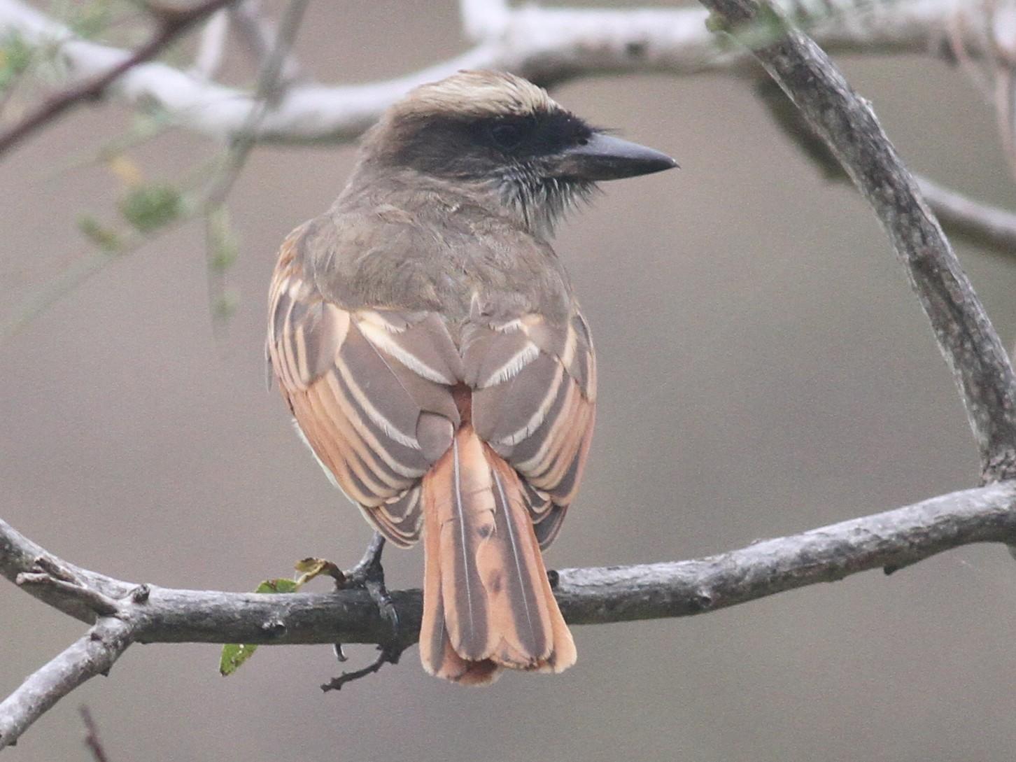 Baird's Flycatcher - Paul Bourdin