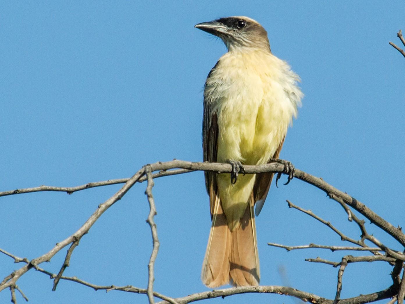 Baird's Flycatcher - Nick Athanas
