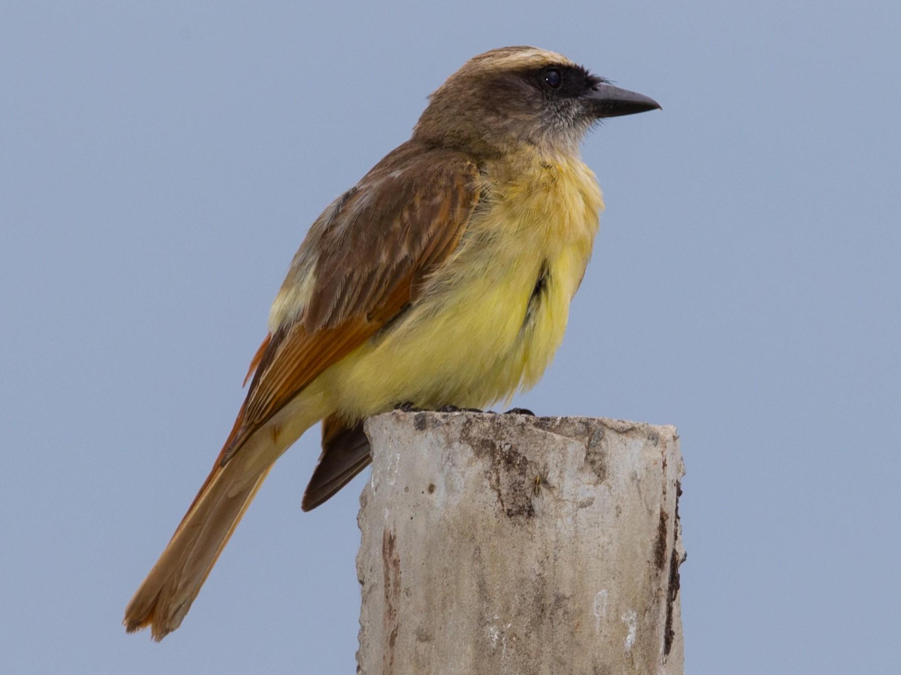 Baird's Flycatcher - Bob Shettler