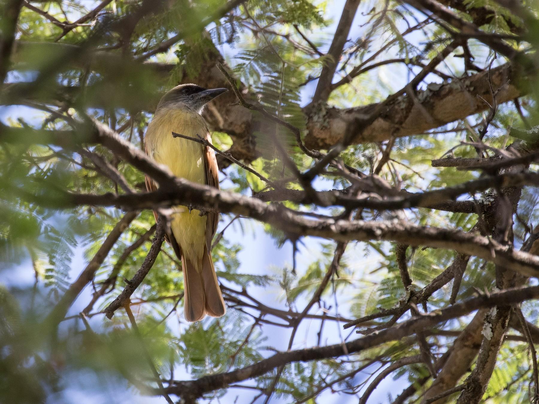 Baird's Flycatcher - Wayne Sladek