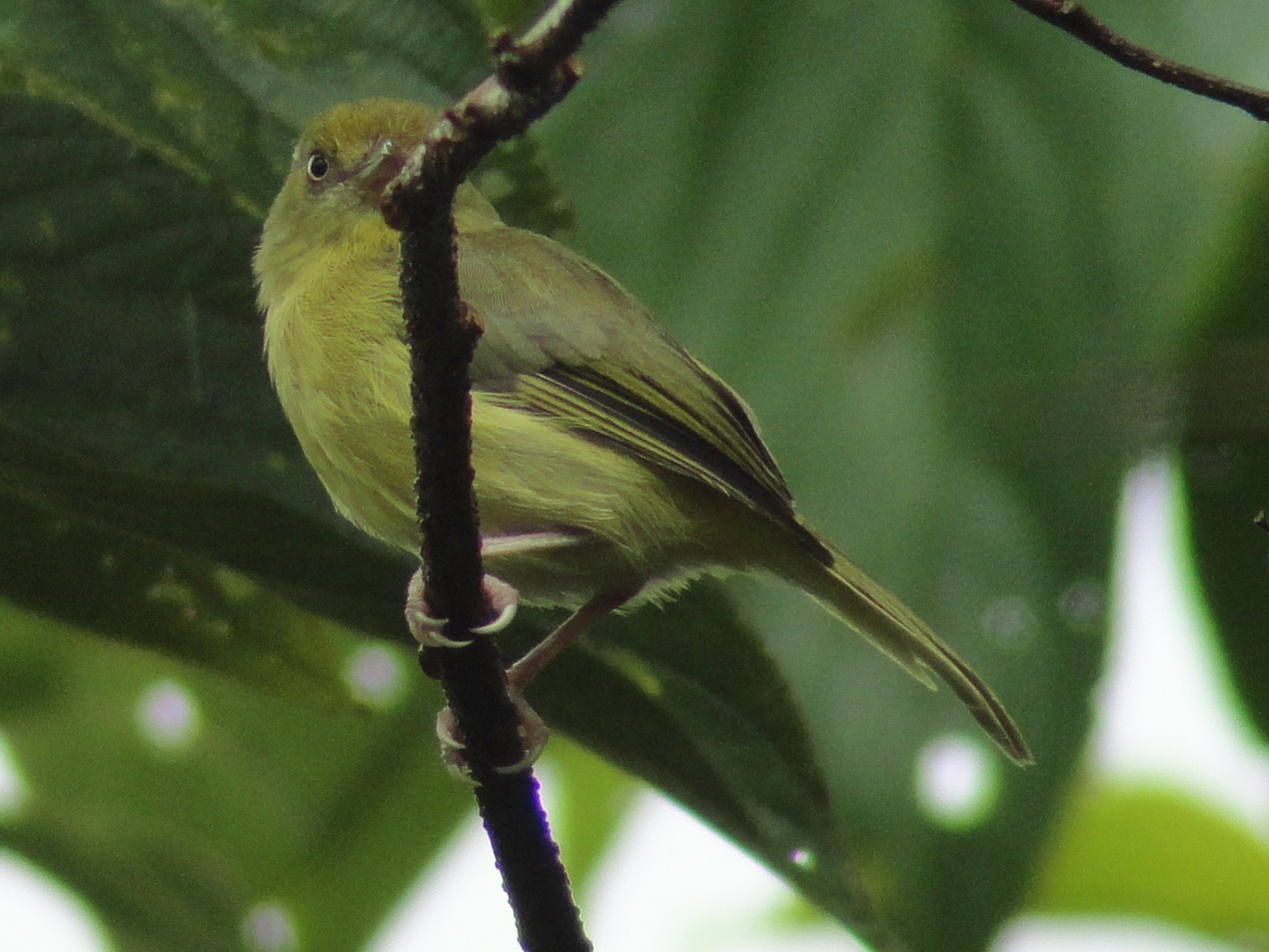Olivaceous Greenlet - Marcelo Quipo
