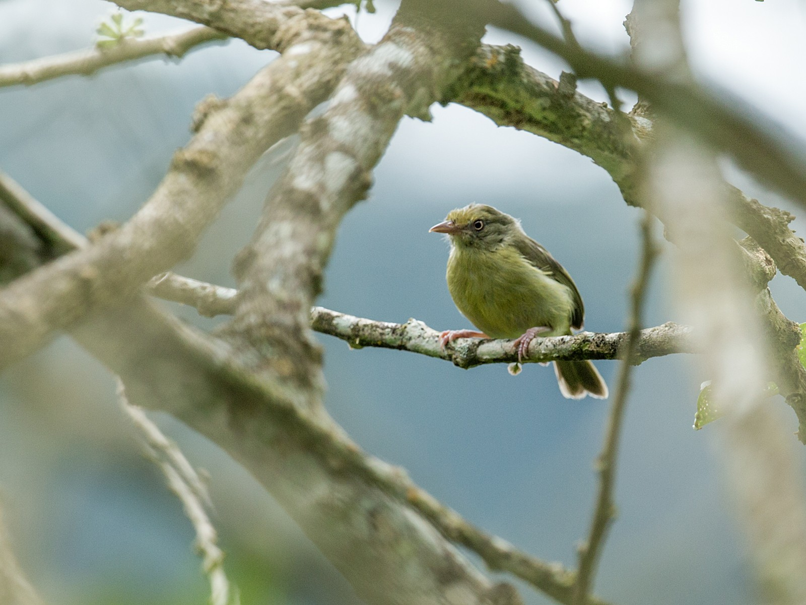 Olivaceous Greenlet - Nick Athanas