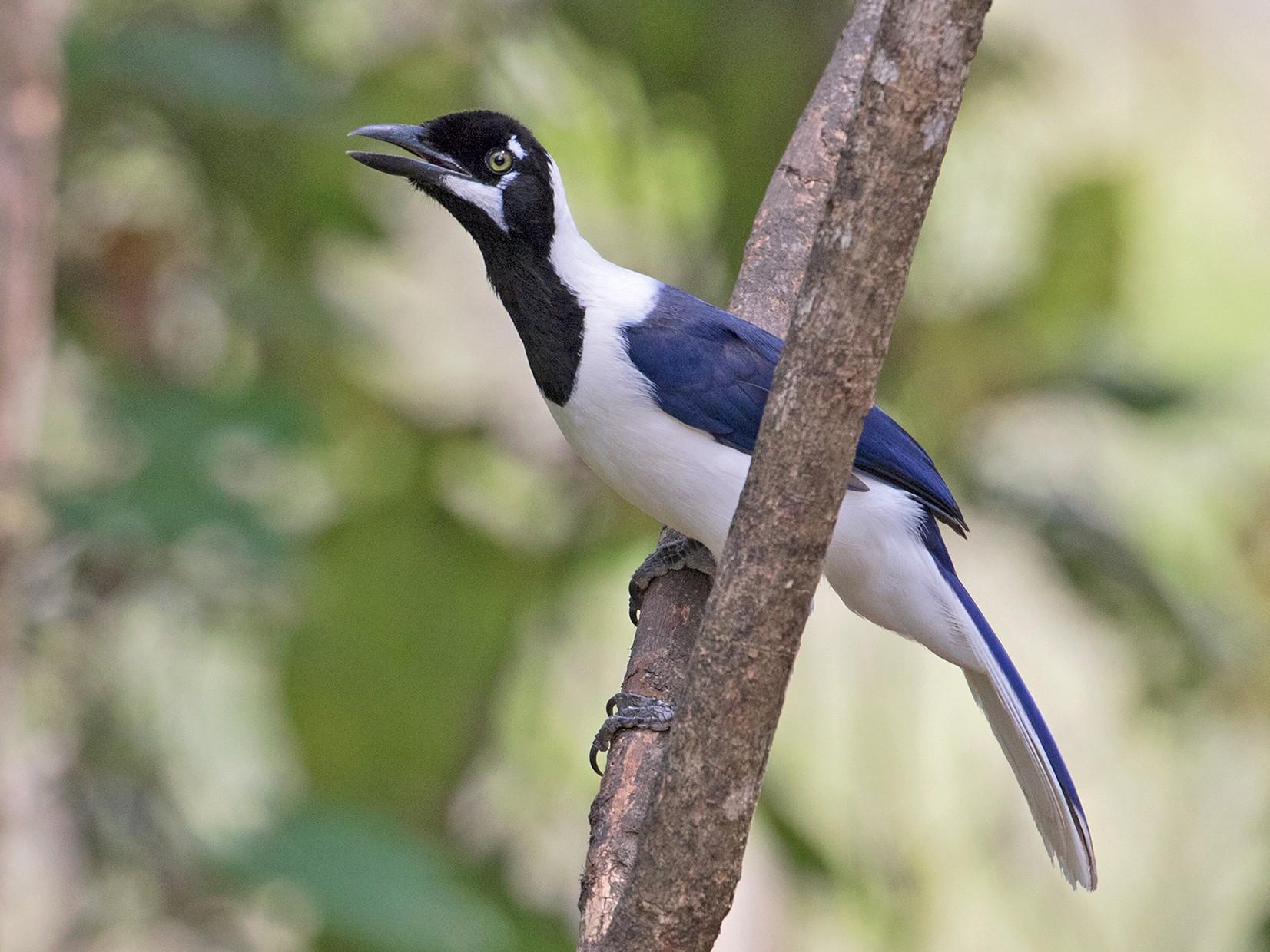White-tailed Jay - Sam Woods
