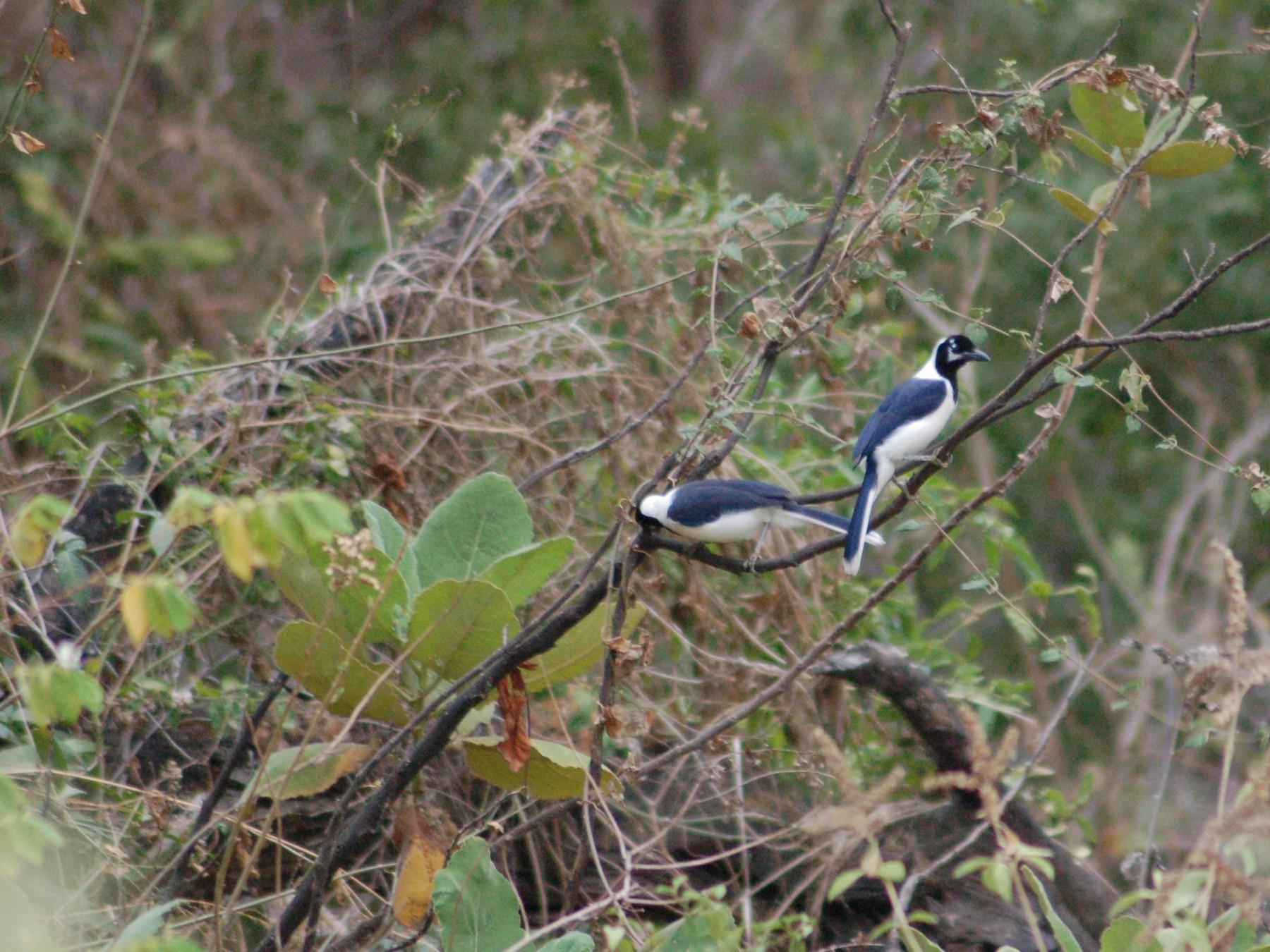 White-tailed Jay - Daniel Lebbin
