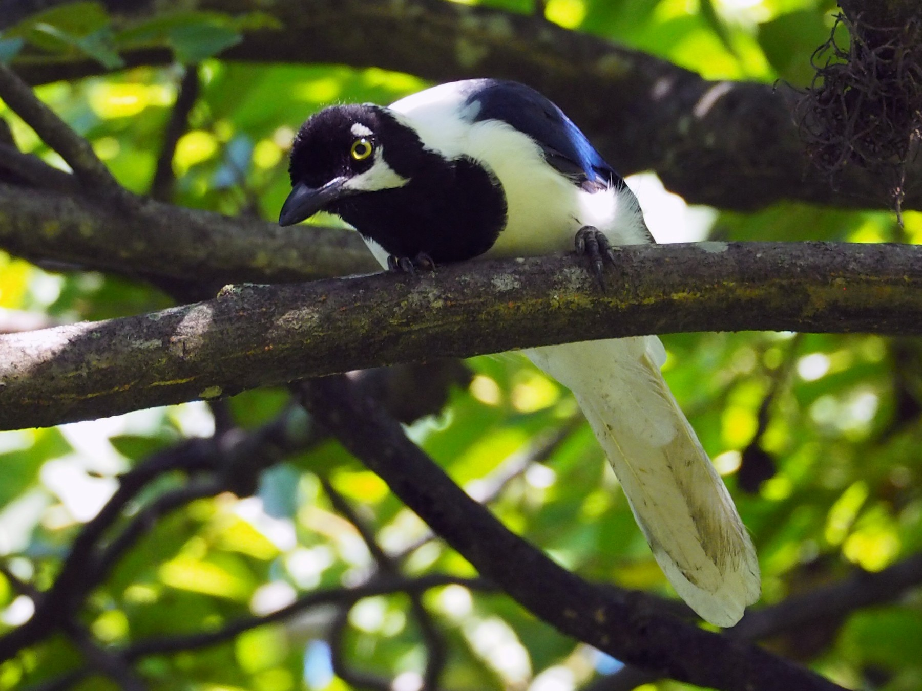 White-tailed Jay - Lonnie Somer
