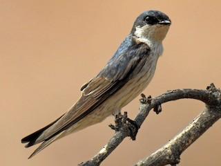 - Tumbes Swallow