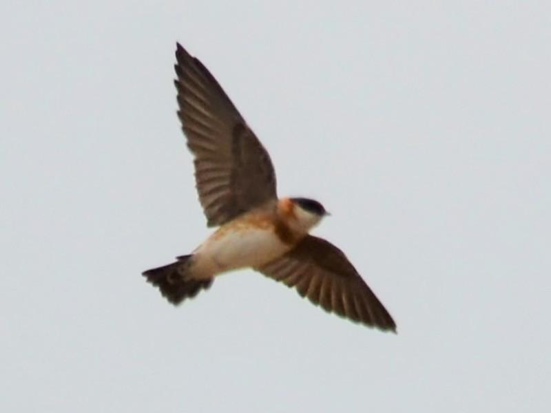 Chestnut-collared Swallow - javier lopez