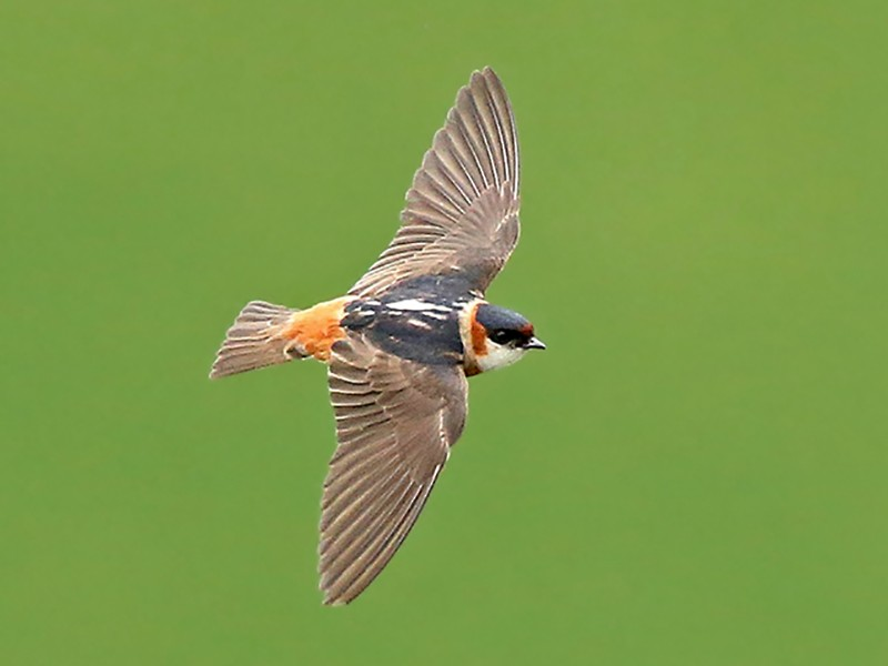 Chestnut-collared Swallow - Roger Ahlman