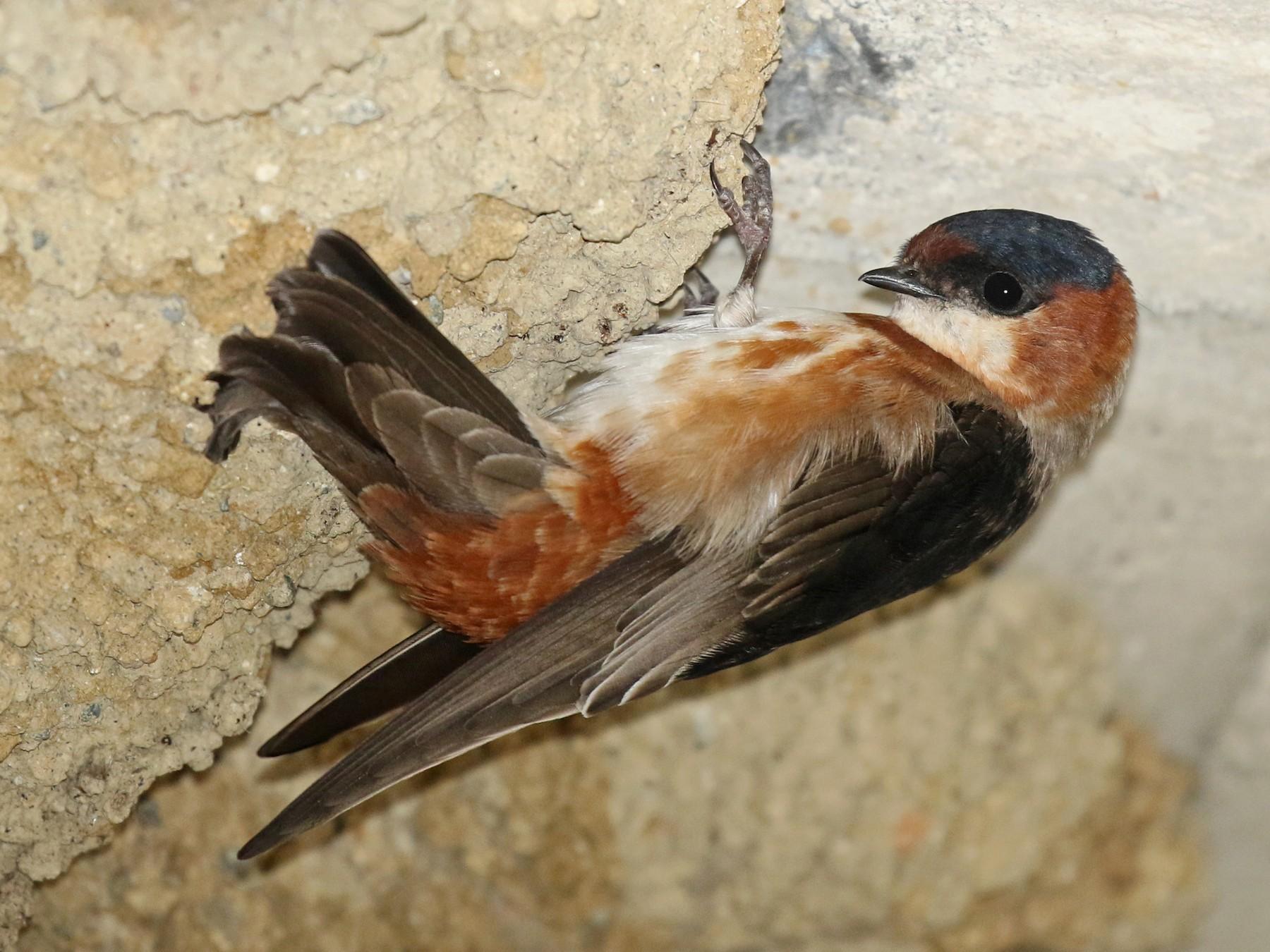 Chestnut-collared Swallow - Luke Seitz