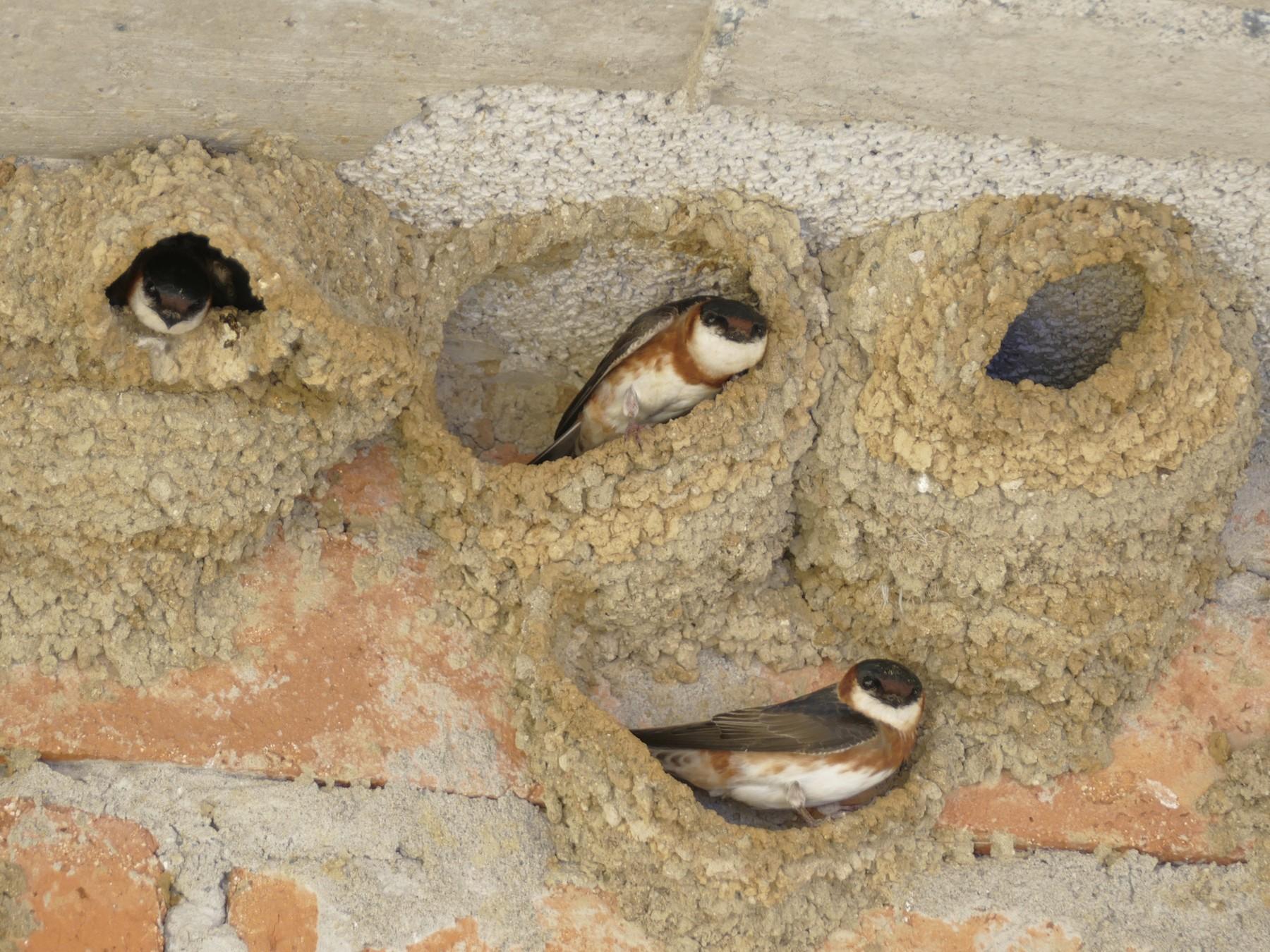Chestnut-collared Swallow - Peter Kaestner