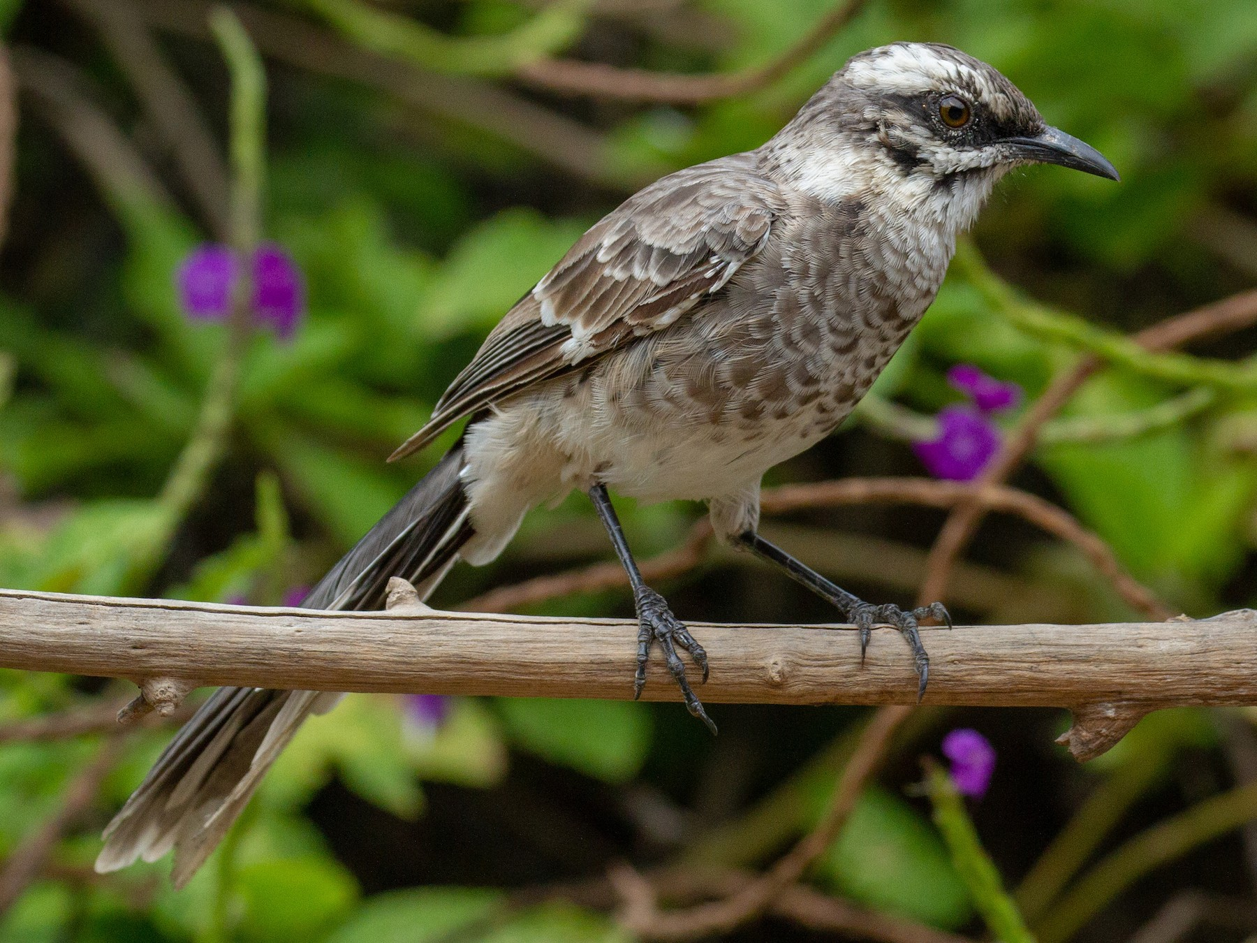 Long-tailed Mockingbird - Will Chatfield-Taylor