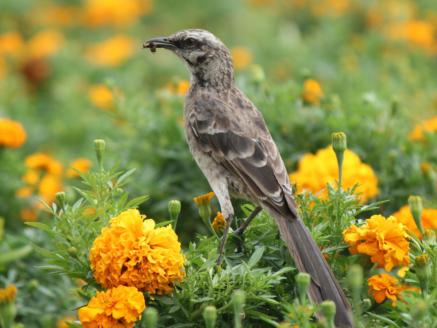Long-tailed Mockingbird - Laura Mae