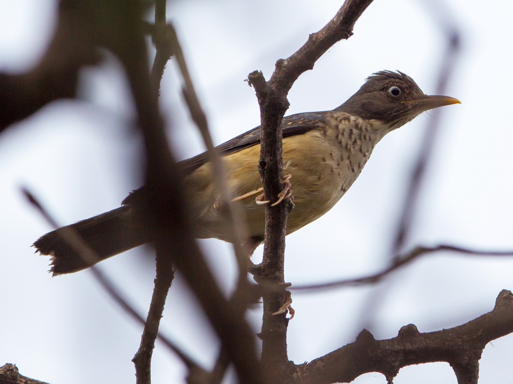 Plumbeous-backed Thrush - Kevin Berkoff