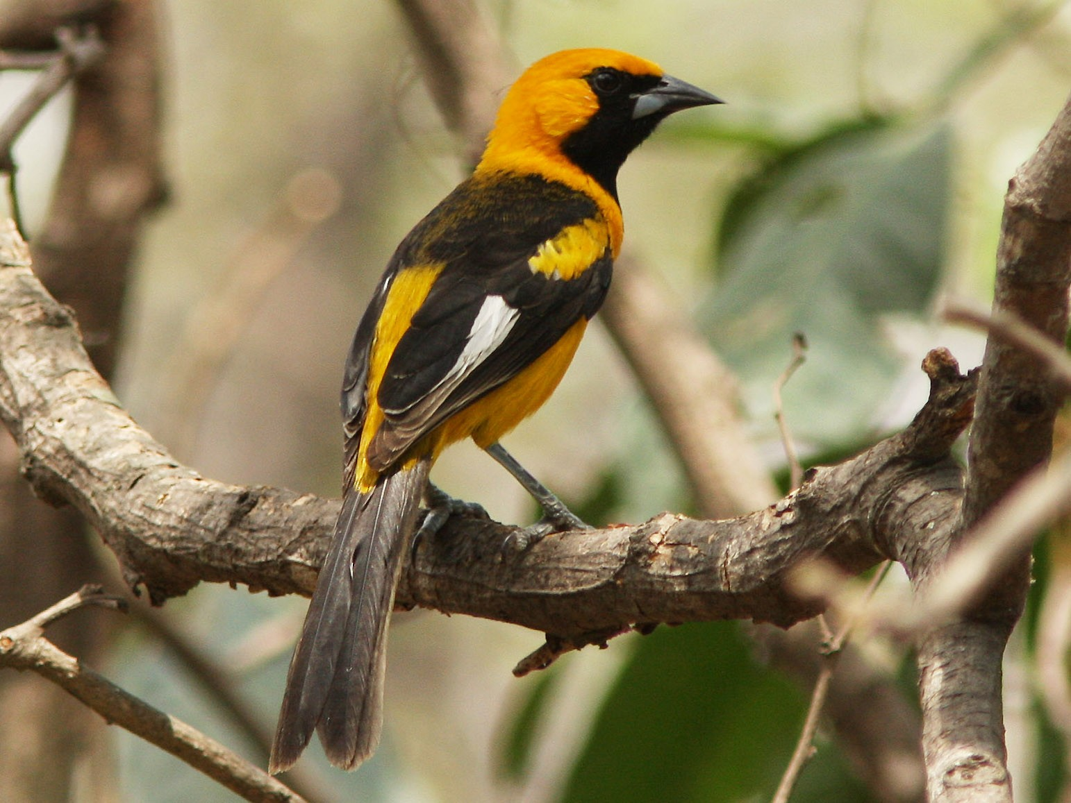White-edged Oriole - David Beadle