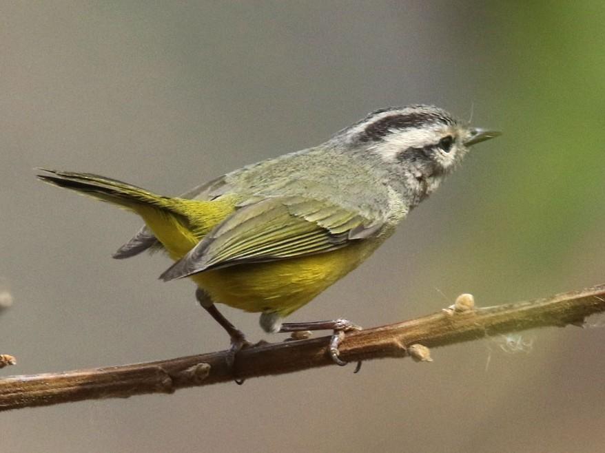 Three-banded Warbler - Noah Strycker