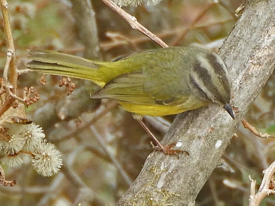 Three-banded Warbler - Ray Wershler