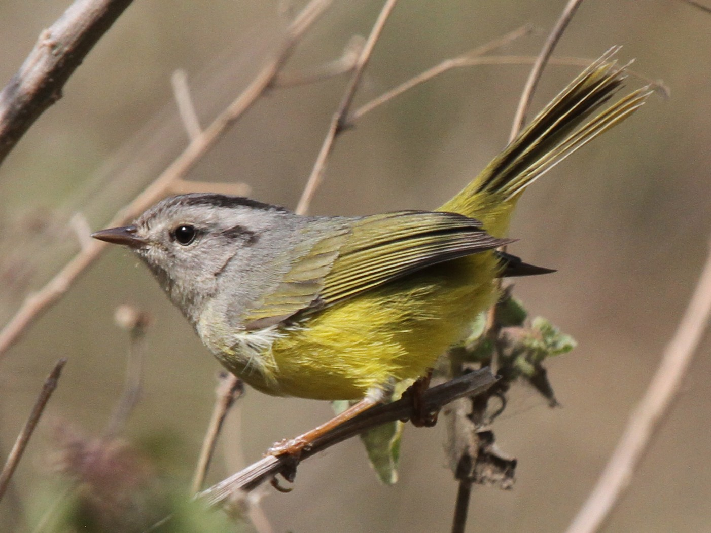 Three-banded Warbler - Joan and/or George Sims