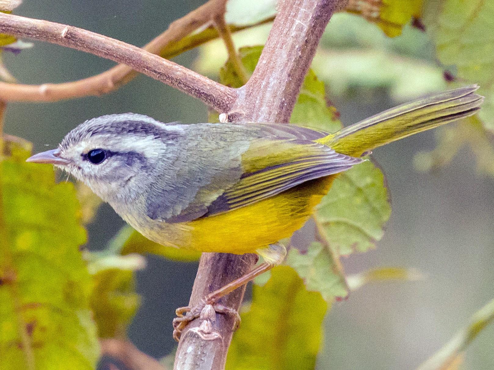 Three-banded Warbler - John Kendall