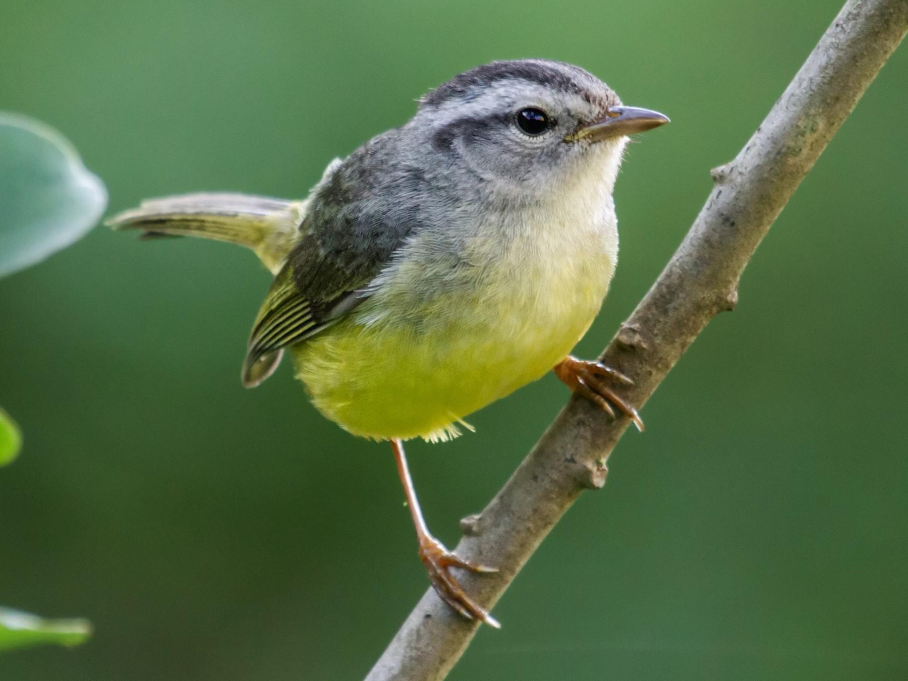 Three-banded Warbler - Nick Athanas