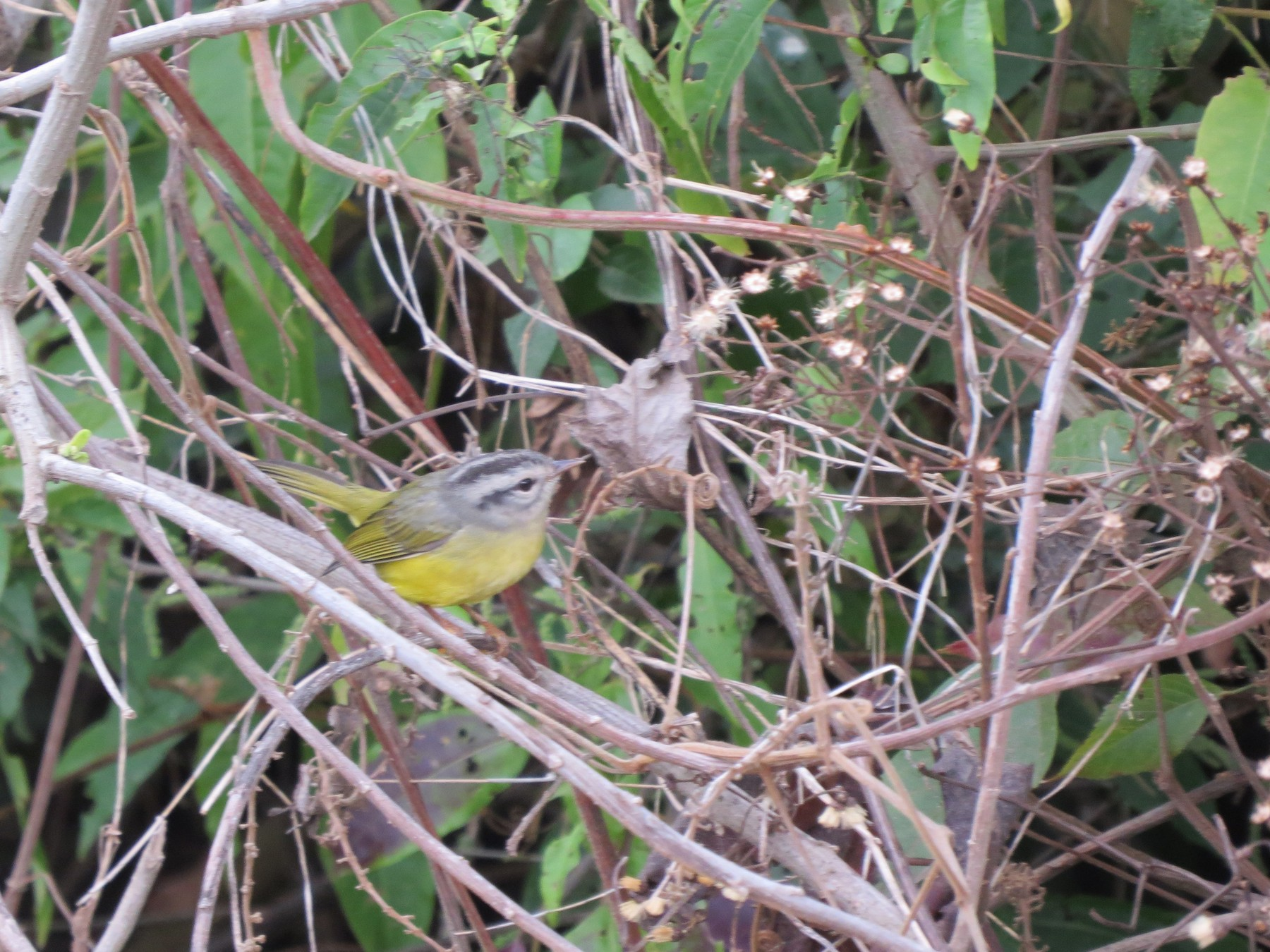 Three-banded Warbler - Larry Schmahl
