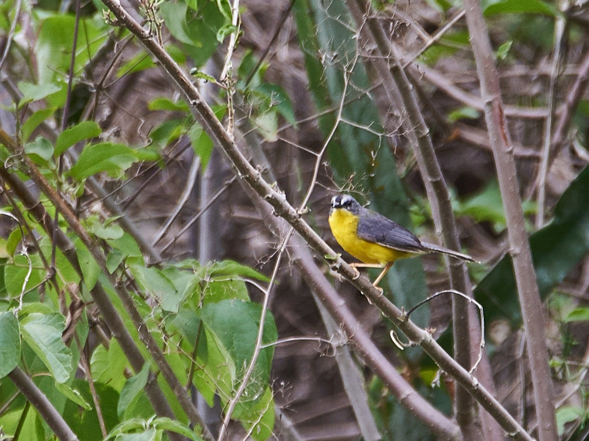 Gray-and-gold Warbler - Carlos Ibañez